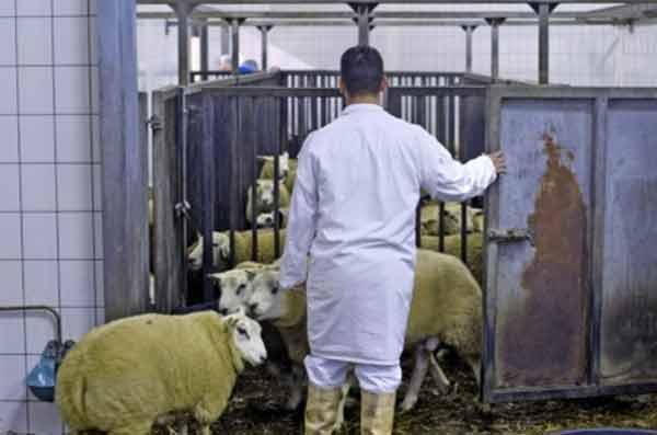 Забой скота в Бельгии