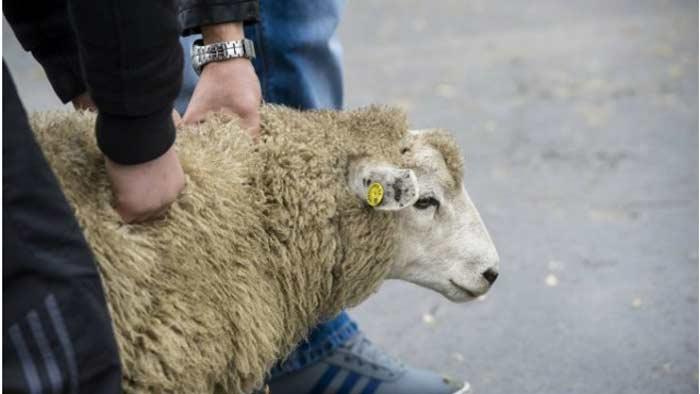 Забой скота Halal в Бельгии