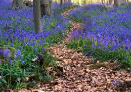 Халлербос — сказочный лес в Бельгии [ФОТО]