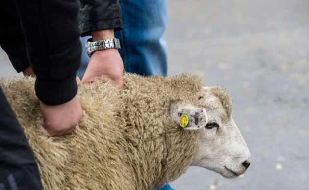 Еврейские организации обратились в Конституционный суд с требованием отмены указа, запрещающего кошерный забой скота