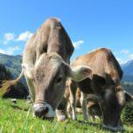 Для спасения климата ученые предлагают обучить коров ходить в туалет